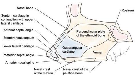 Septoplasty Endoscopic And Open Techniques Intechopen